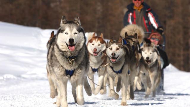 chiens de traineaux, Paradiski, Tarentaise, savoie, 73