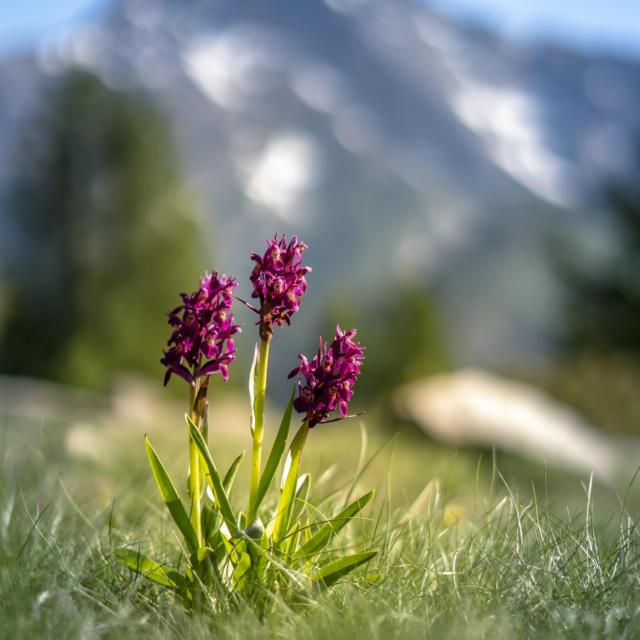 Fleur de montagne dans la vallée du Champsaur
