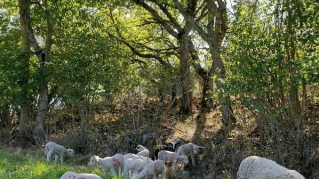 Brebis de la ferme des Sonailles dans le Champsaur