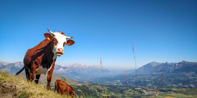 Vache dans le Champsaur